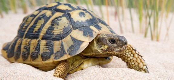 Resultat d'imatges de tortuga mediterrània