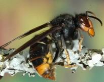 Vés a: Troben a Gasserans el primer niu  de vespa velutina al Baix Montseny d'enguany