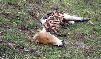 Unió de Pagesos reclama que l'assegurança per cobrir els danys dels óssos al bestiar s'estengui als del voltor