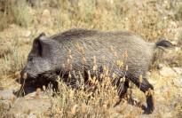 Vés a: Unió de Pagesos demana contundència contra els senglars