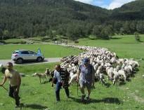 Les ovelles recorreran per tercer any el camí ramader del Lluçanès