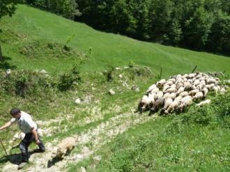 Les ovelles s'acostumen a passar pel camí ramader del Lluçanès