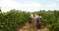 Vés a: Comença la verema pels vins DO Penedès