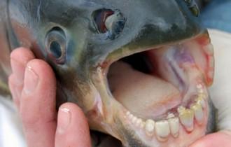 Pacu, un peix que mossega testicles, s'estableix a Europa