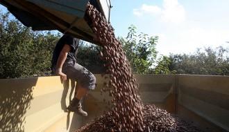 Unió de Pagesos tem que els preus de l'avellana continuïn «sota mínims»