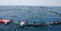Balfegó reclama el tancament de fronteres a la tonyina roja de països que no respecten el repartiment de quotes