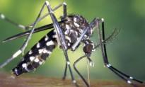 Vés a: Neix un portal de gestió del mosquit tigre amb participació ciutadana