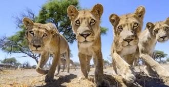 Com retratar de prop lleons salvatges?