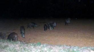Fotonotícia: El perill nocturn dels porcs senglars al Vallès Oriental