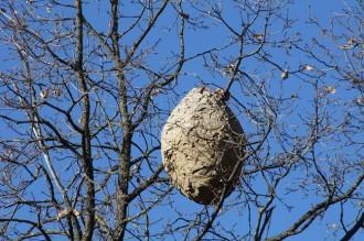 La vespa asiàtica s'estén per les comarques gironines