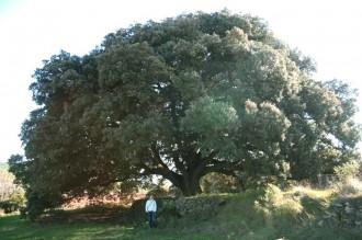Gegants ben arrelats:  arbres singulars i monumentals (II)