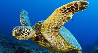 Les tortugues de mar