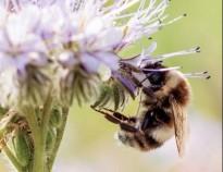 Vés a: El declivi de les abelles fa perillar la producció  d'aliments