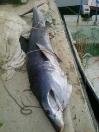 Vés a: Es presenta el primer protocol per evitar l'impacte de la pesca fantasma