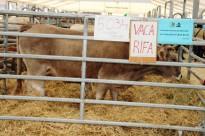 Vés a: IPCENA denuncia el sorteig de la vaca de la Fira de Sant Isidre