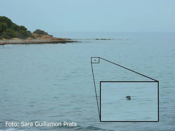 Troben una foca atlàntica a la costa de Llavaneres i Cadaqués