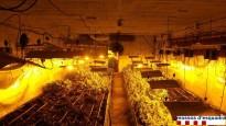 Localitzada una plantació de més de 3.000 plantes de Marihuana a Cassà