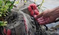 Vés a: Detecten el cargol poma a Miravet