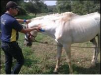 Rescaten un cavall malalt i abandonat a Girona