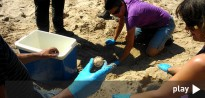 Traslladen els ous de la tortuga marina de Tarragona al Delta de l'Ebre