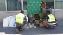 Intervenen una plantació de 83 plantes de marihuana a Cambrils