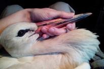 Vés a: La multitudinària visita de cigonyes se salda amb 23 aus electrocutades