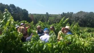 Tast de raïm i de mosts a les vinyes d'Eudald Massana Noya