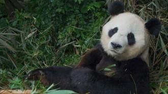 Els pandes de Chengu