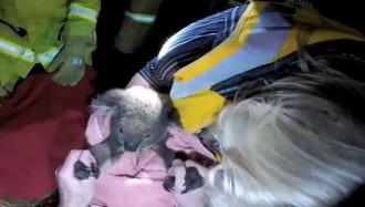 Salven la vida d'un koala practicant-li el boca a boca [VÍDEO]