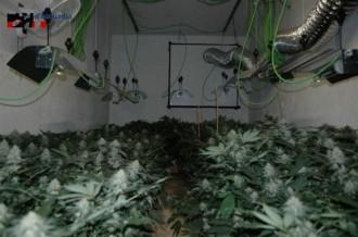 Detingut un home per conrear 306 plantes de marihuana