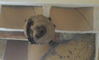 Retiren un niu de vespa asiàtica en una casa de Roses