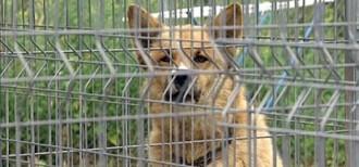 Vés a: Capturen 30 gossos assilvestrats al Bages