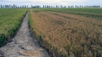 Vés a: UP denuncia una reducció del 20% de les ajudes agroambientals de l'arròs