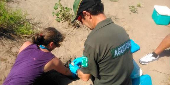 Els ous del tortuga de l'Arrabassada ja descansen al Delta
