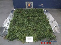 Detingut un veí de Mieres per cultivar 240 plantes de marihuana