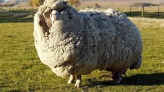 Descobreixen l'ovella amb més llana del món