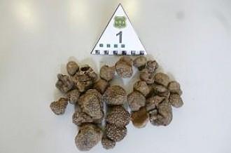 Els Agents Rurals comissen 600 grams de tòfona a Torelló