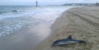 Vés a: Troben un dofí mort a la platja de Torredembarra