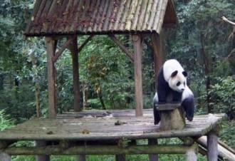 El Gran Germà dels óssos panda gegants