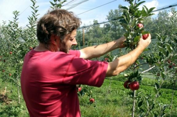 La primera collita de poma ecològica de muntanya arribarà a les 16 tones