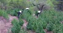 Els Mossos troben 600 plantes de marihuana a Rasquera