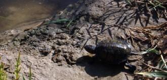 Vés a: La tortuga d'estany torna a l'Alfacada